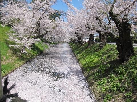 IMG_9452桜3