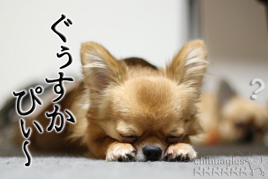 チワワが寝ている