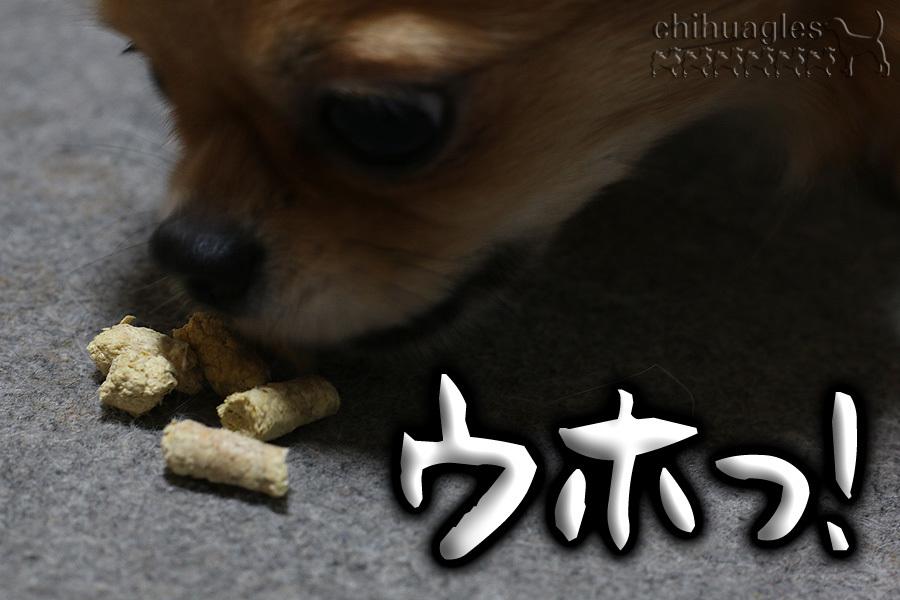 猫砂を食べるチワワ