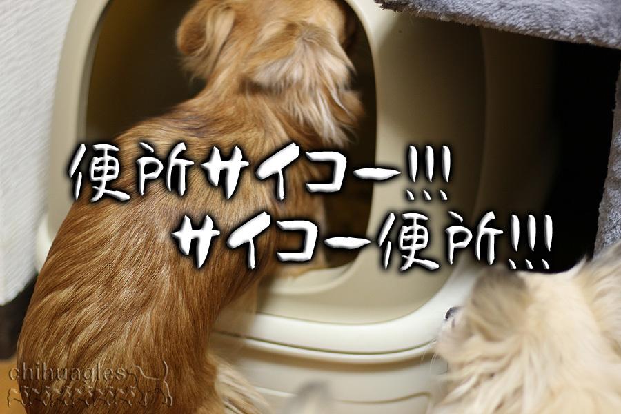 猫のトイレで遊ぶチワワ