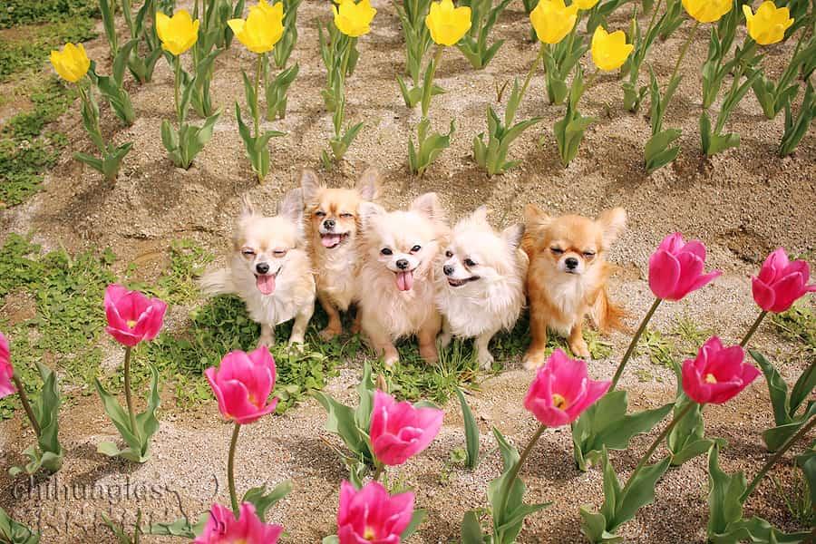 チューリップの花壇で記念撮影する5匹のチワワ