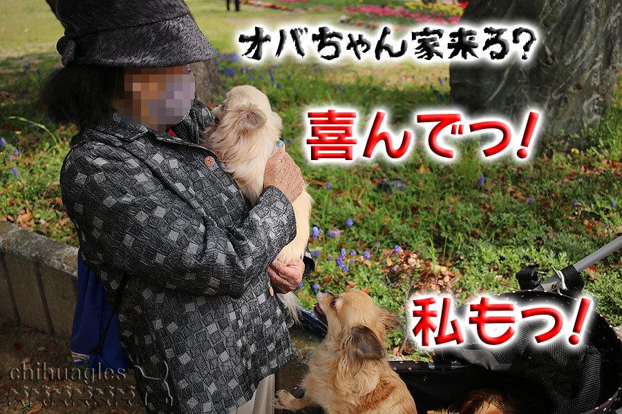 大阪のおばちゃんに抱っこされるチワワ