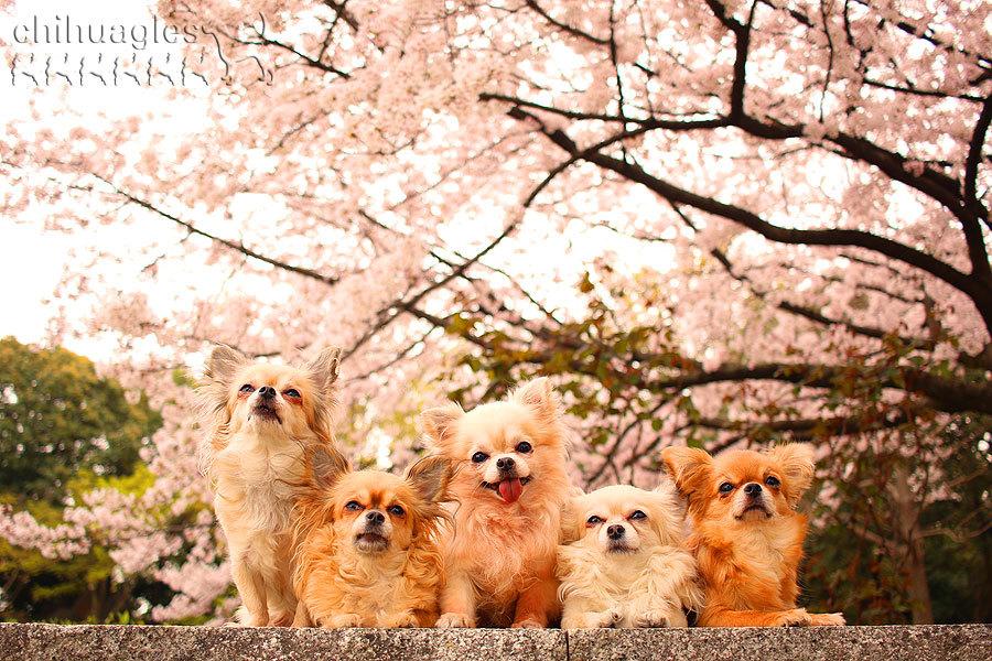 小田南公園の桜の木の前で記念撮影する5匹のチワワ