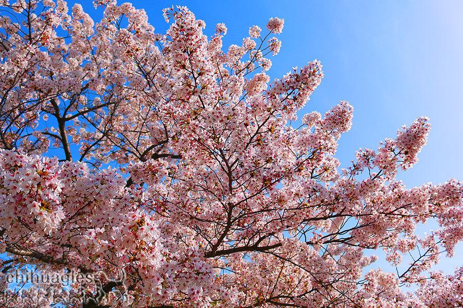 青空の元に満開の桜