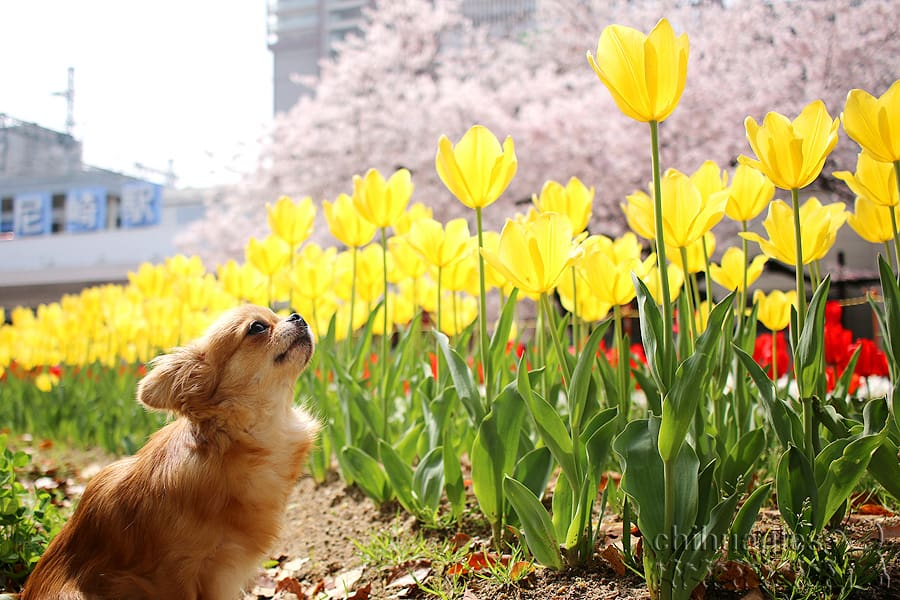 阪神尼崎駅前に咲くチューリップを眺めるチワワ
