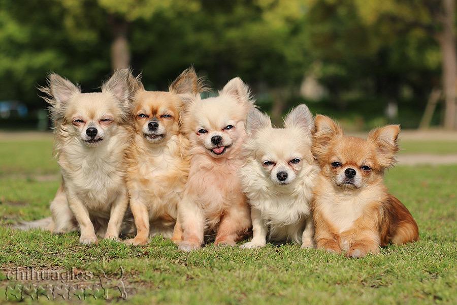 兵庫県尼崎市の小田南公園でチワワ5匹が並んで記念撮影