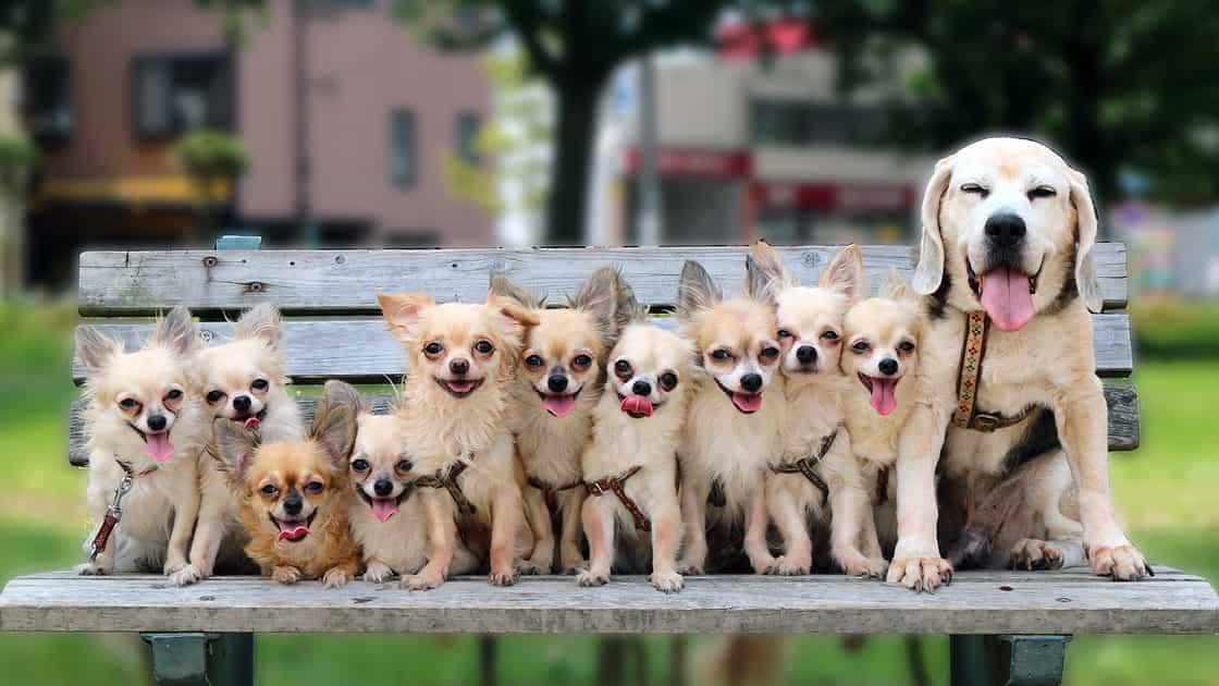 公園のベンチに仲良く並んで座っている10匹のチワワと1匹のビーグル