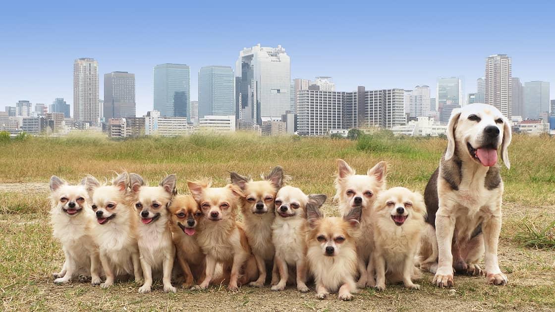 梅田のビル群を背景に記念撮影をする10匹のチワワと1匹のビーグル