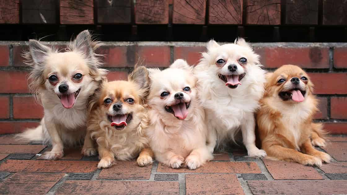 真夏の公園のレンガ造りの広場で暑そうにして舌を出す5匹のチワワ