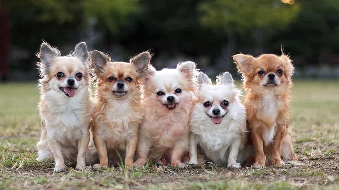 公園の芝生で5匹のチワワが仲良く並んで記念撮影