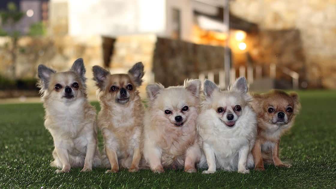お城がある公園で夜景の記念撮影をする5匹のチワワ