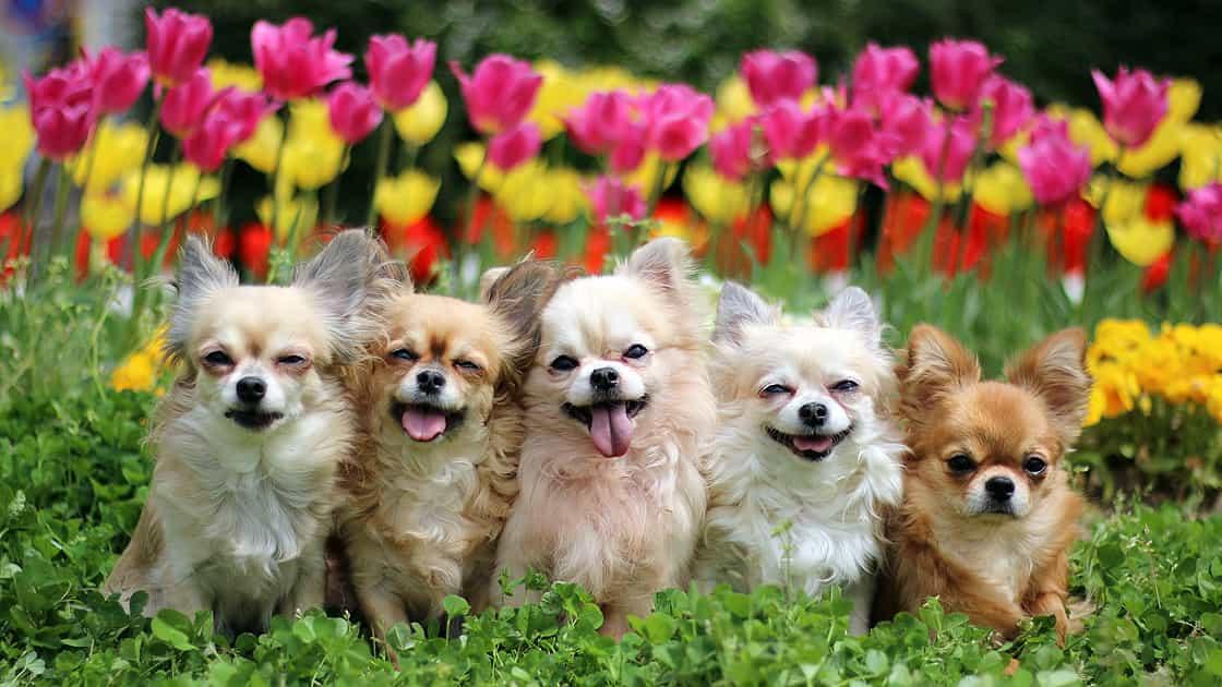 咲き誇るチューリップの中で5匹のチワワが記念撮影