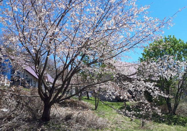 山桜20200505