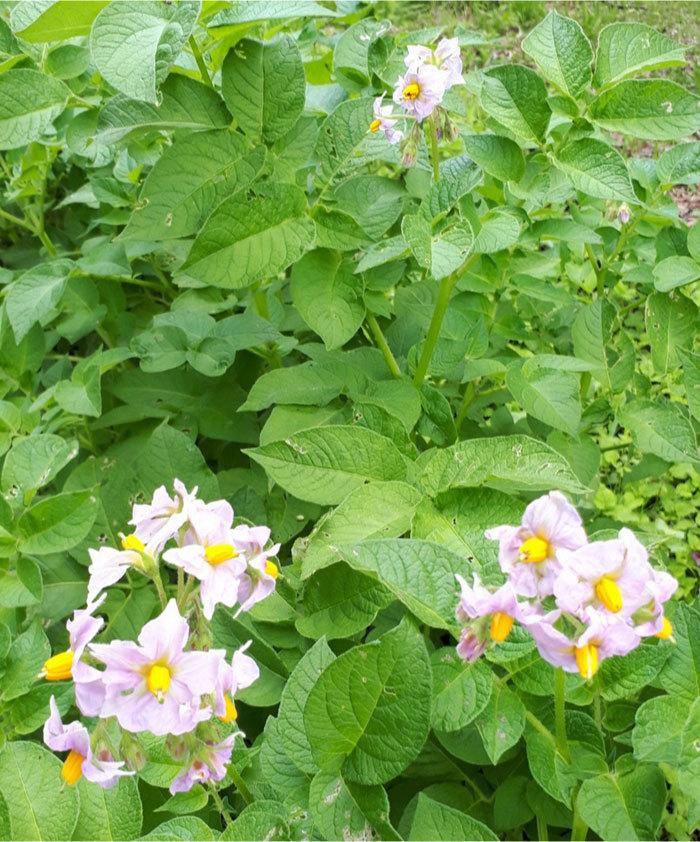 ジャガイモの花20200617