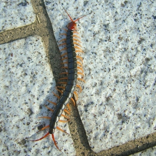 Scolopendra_subspinipes_mutilans.jpg