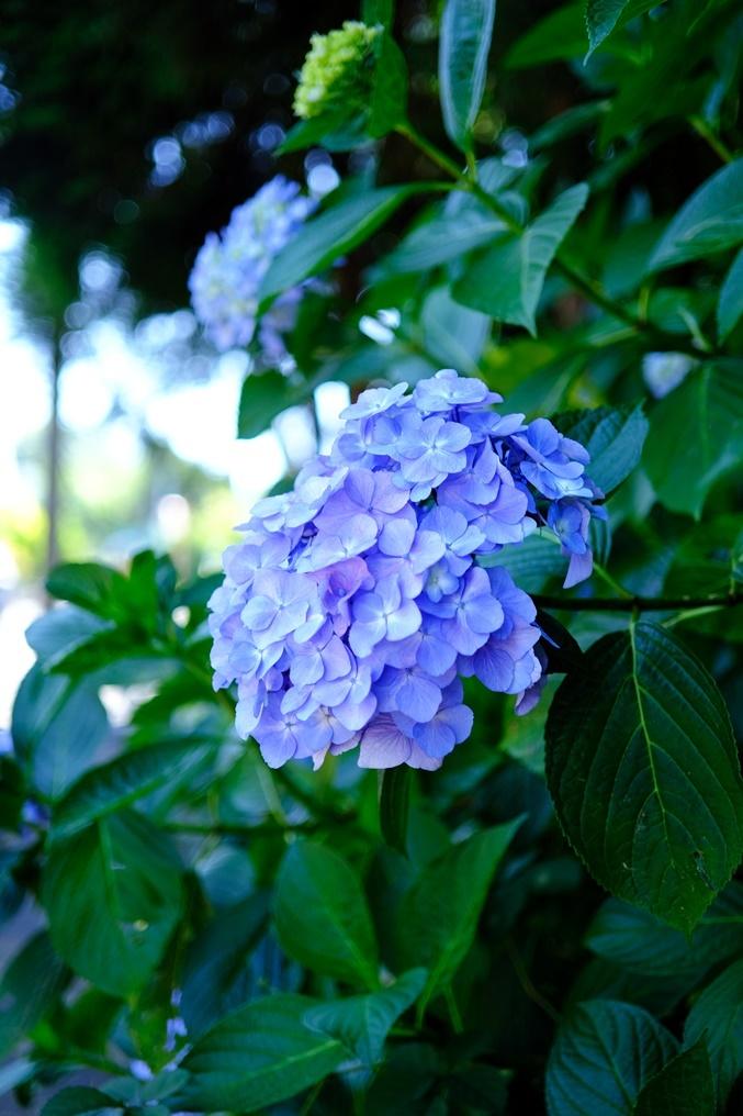 hydrangea200612_12.jpg