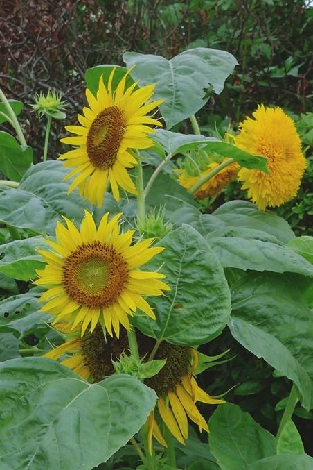 sunflower200730.jpg