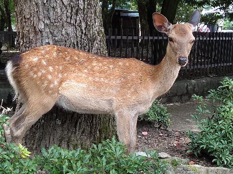 奈良 鹿2020