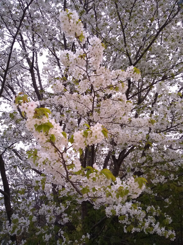 桜2020年3月31日