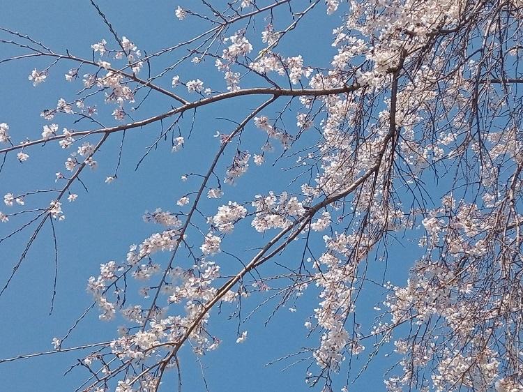 桜2021年3月