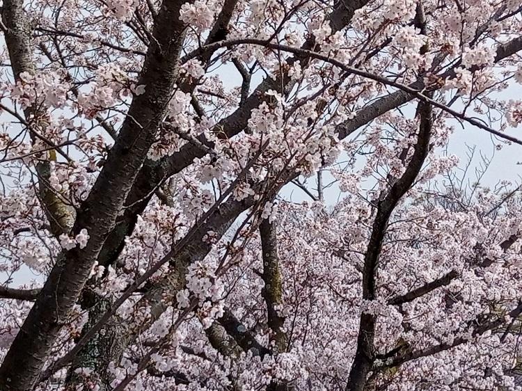 桜202103