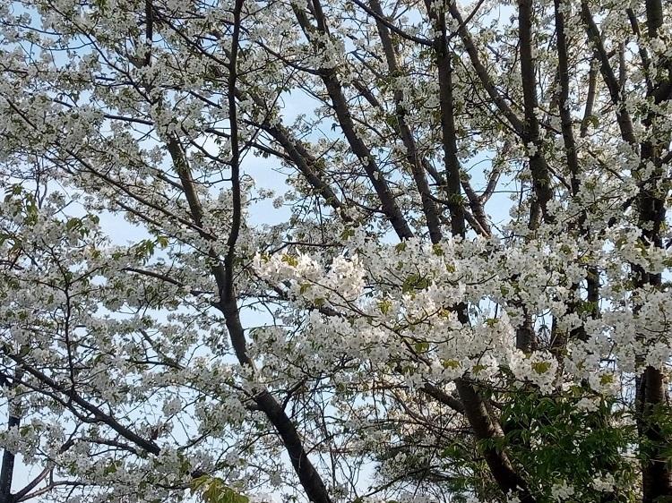 山桜202103