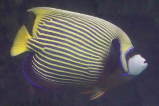 タテジマキンチャクダイ太平洋型(鴨川)