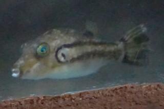 キタマクラ(鴨川)