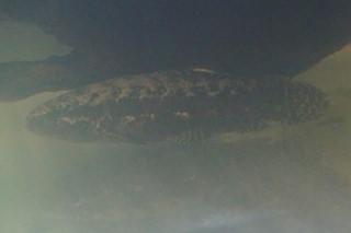ブラックタライロン(カブ)