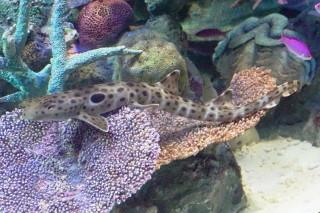 マモンツキテンジクザメ(池袋)
