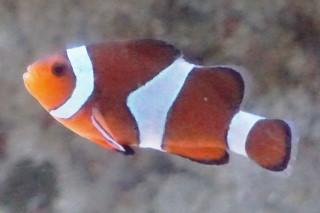 カクレクマノミ(浅虫)