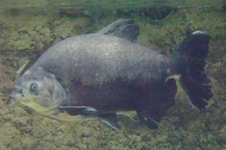 ブラックコロソマ(浅虫)