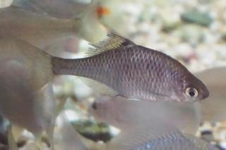 タイリクバラタナゴ雌(内沼)