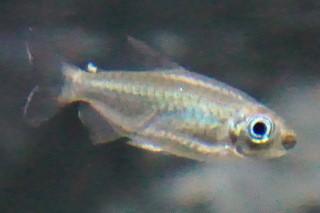 コンゴテトラ雌(嘉利)