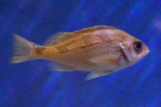 ウスメバル(浅虫)