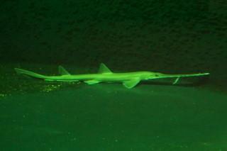 ノコギリザメ(上越)