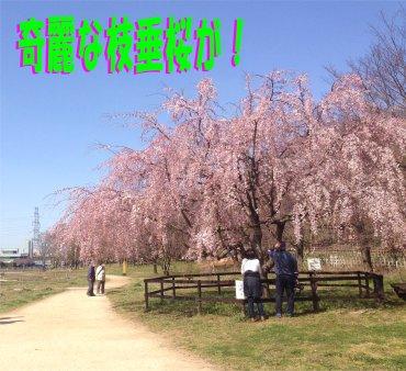 紅枝垂桜200322