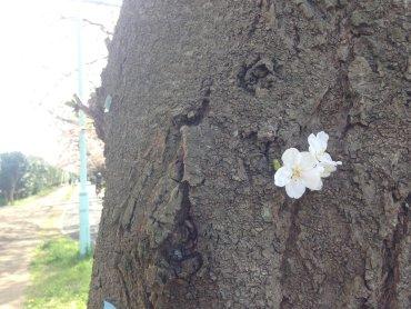 かわいい桜 0 200322