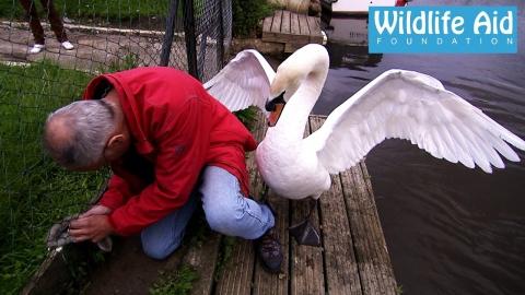 白鳥の子供を助ける_01