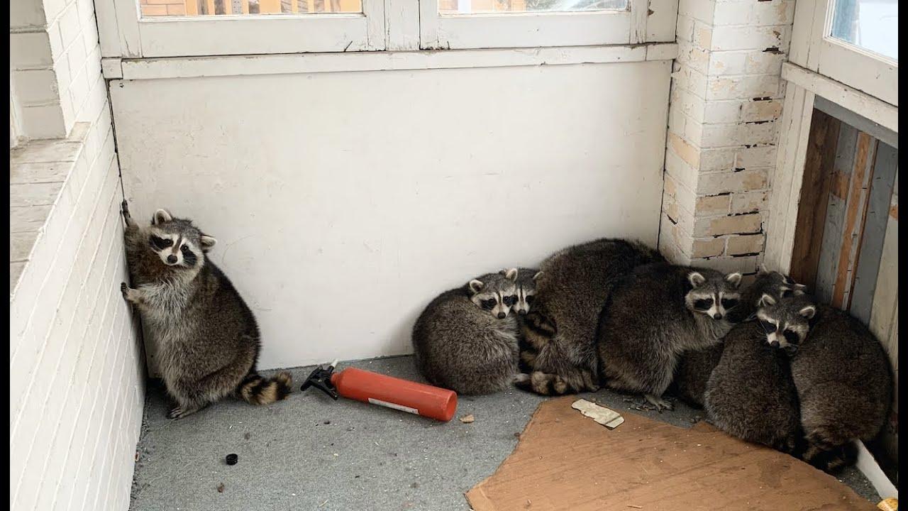 空家に閉じ込められた、11匹のアライグマを救出!!