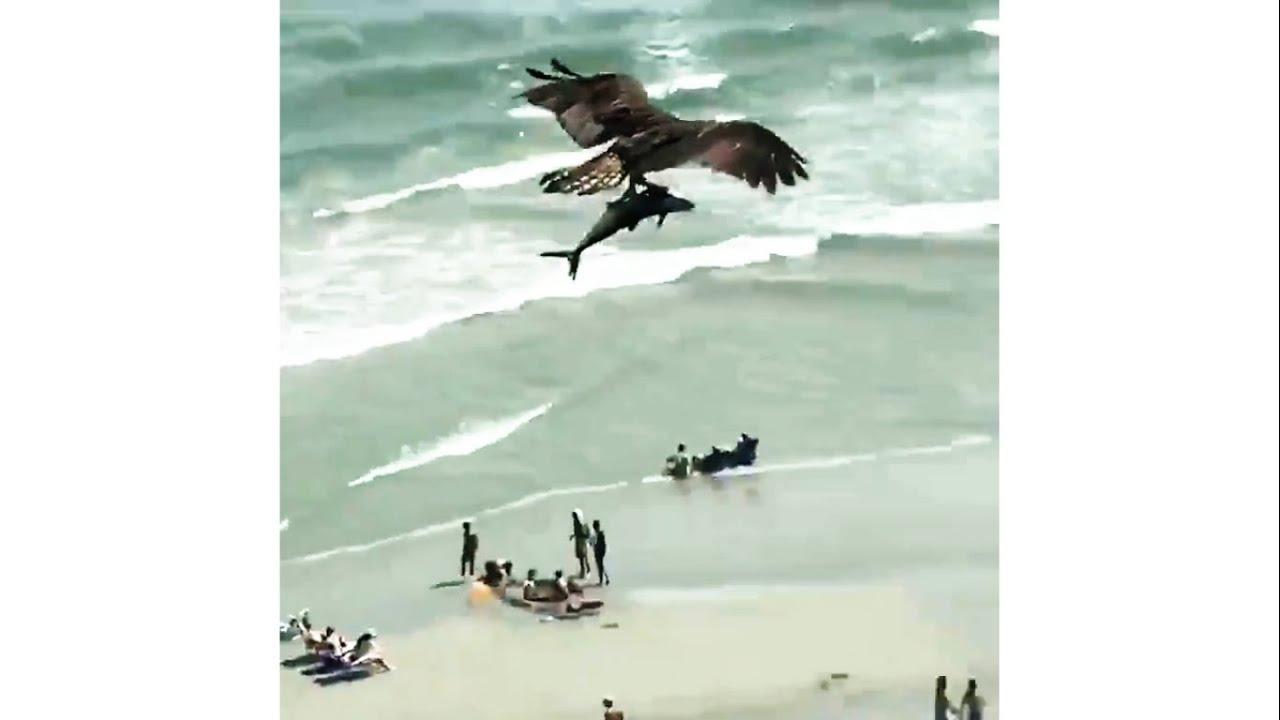 サメの子供を捕まえて、空を優雅に舞う鷹が凄い!!