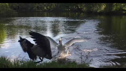 白鳥のプレッシャー_01