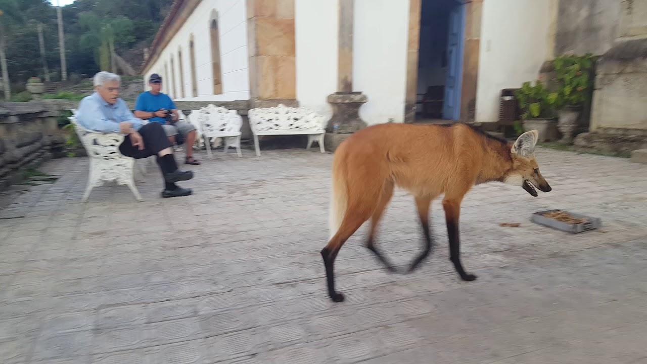 大きなキツネのようなオオカミが町に出現!!