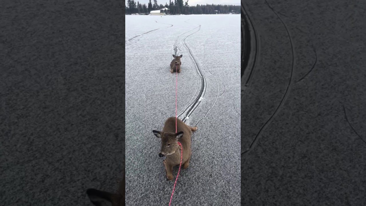 氷の上で動けなくなったシカを助けるお仕事・・・。