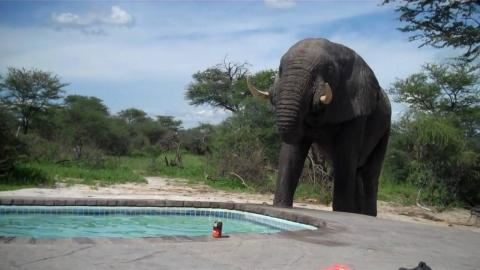 野生のゾウが突如プールに_01