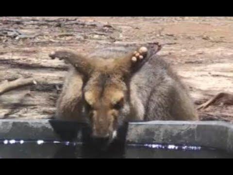 カンガルーの耳に寄生した、たくさんのマダニをカラスが取除く!!