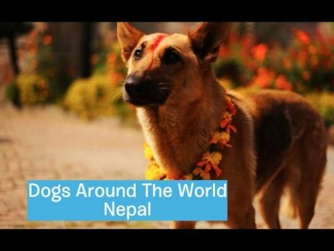 ネパールの犬のお祭り_01