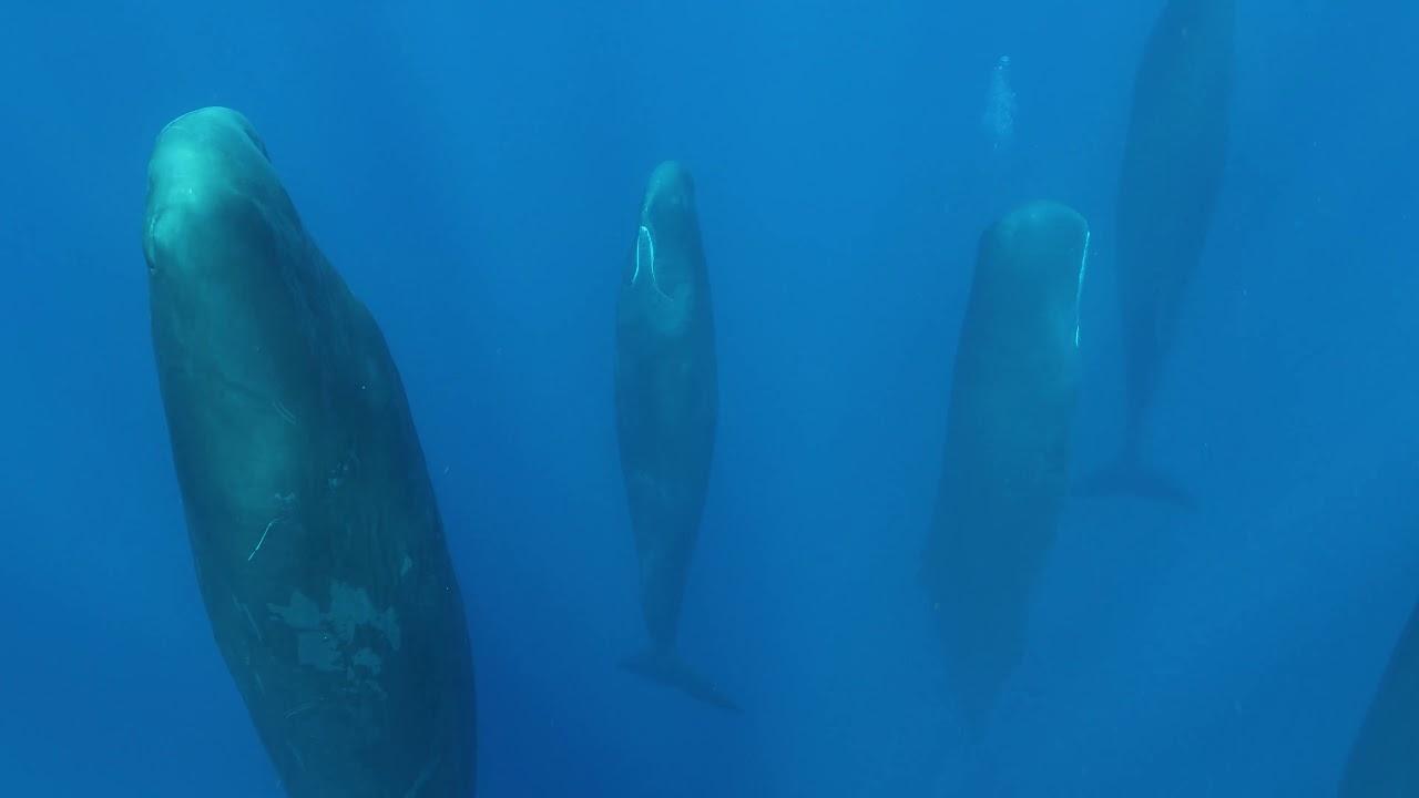 縦になって眠るマッコウクジラたちの不思議な風景!!