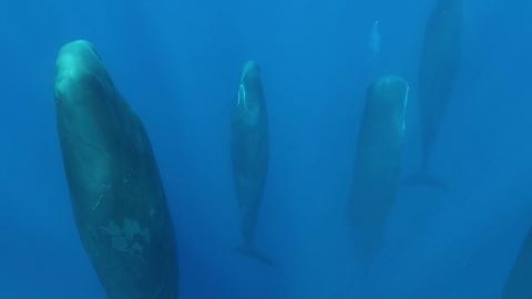 縦になって眠るマッコウクジラ_01
