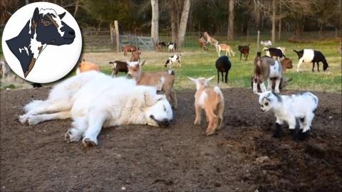 ヤギ牧場の番犬_01